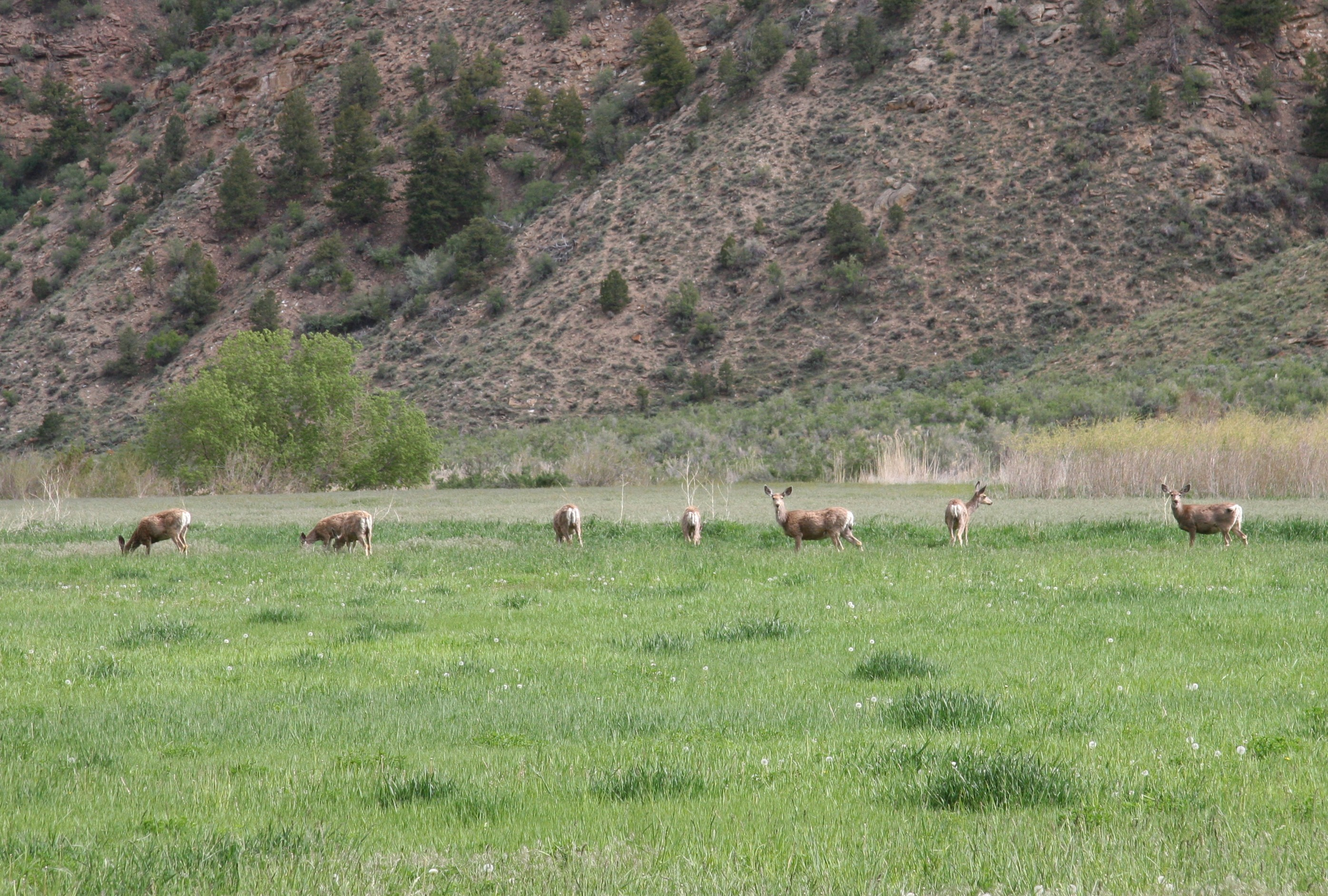 Deer and elk have replaced buffalo and bighorns in the canyons